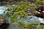 Mountain Stream with Tree, Fiordland National Park, Te Wahipounamu, Southland, South Island, New Zealand