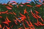 Goldfish shoal