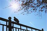 Pigeon on metal fence