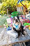Boston terrier dog with birthday presents