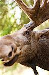 Elk, close-up