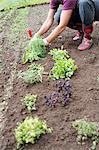 Woman planting herbs