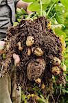 New potatoes, close-up