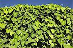 Evergreen climbing vine against blue sky