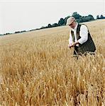 Farmer Walking Through a Wheat Field, Examining the Crop