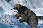 Brown Bear (Ursus arctos), Brooks River, Katmai National Park, Alaska, USA