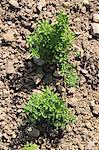 Oregano growing in the field