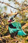 Woodland Kingfisher, Okavango Delta, Botswana.