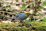beautiful male Blue Pitta (Pitta cyanea) in Thai forest
