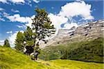 Swiss pine (Pinus cembra), Zirbelkiefer, at Alpine lake Engstlensee, Switzerland