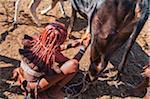 Himba woman milking a cow, Kaokoveld, Namibia, Africa , Namibia, Africa