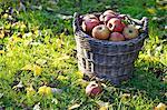 Boskoop apples in a basket in the field