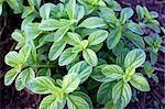 Fresh mint growing in the garden