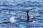 Adult humpback whales (Megaptera novaeangliae), Dallmann Bay, Antarctica, Southern Ocean, Polar Regions