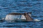 Adult humpback whale (Megaptera novaeangliae) flukes-up dive, Snow Pass, Southeast Alaska, United States of America, North America