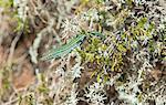 Green lizard (Podarcis pityusensis), Formentera, Balearic Islands, Spain, Europe