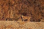 Bobcat (Lynx rufus), Bosque del Apache National Wildlife Refuge, New Mexico, United States of America, North America