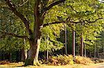 Morning sunlight illuminates autumnal foliage in the New Forest National Park, Hampshire, England, United Kingdom, Europe