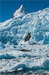 Leopard seal (Hydrurga leptonyx) lying on an ice shelf, Cierva Cove, Antarctica, Polar Regions
