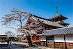 Cherry blossom in the Kiyomizu-dera Buddhist Temple, UNESCO World Heritage Site, Kyoto, Japan, Asia
