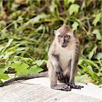 funny macaque monkey sitting on asphalt road