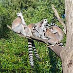 Ring-tailed lemur (Lemur catta) in a dutch zoo