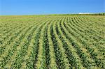 Corn field, Hokkaido