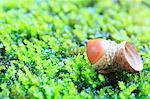 Acorn on moss