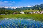 Hakuba mountain range and rice field, Nagano Prefecture