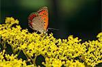 Lycaenidae butterfly