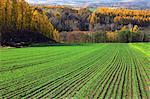 Wheat field and larch trees, Hokkaido