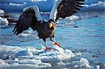 White-tailed sea eagle on snow, Hokkaido