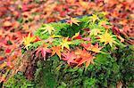 Falling maple leaves on tree stump