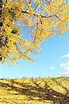 Ginkgo biloba grassland and sky