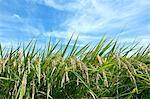 Rice ears and sky