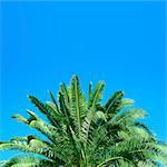 Japanese sago palm tree and sky