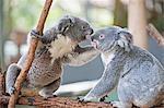 Two koala bears on branch, Lone Pine Sanctuary, Brisbane, Australia