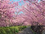 Kawazu Cherry Blossoms, Shizuoka, Japan