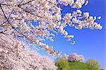 Cherry Blossoms, Gyoda, Saitama, Japan