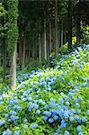 Hydrangea, Gifu, Japan