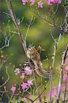 Tamias Sibiricus Lineatus, Hokkaido, Japan