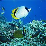 Vagabond Butterfly fish, Kerama Islands, Okinawa, Japan