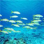 Mullloidichthys, Kerama Islands, Okinawa, Japan