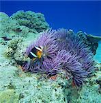 Clownfish, Kerama Islands, Okinawa, Japan