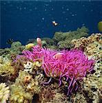 Amphiprion Perideraion, Kerama Islands, Okinawa, Japan