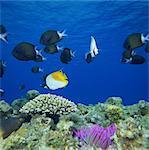 Threadfin Butterfly fish, Kerama Islands, Okinawa, Japan