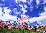 Ichihasama Lily Garden, Miyagi, Japan