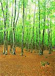 Japanese Beech Forest, Niigata, Japan