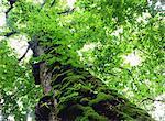 Quercus Crispula And Moss, Hokkaido, Japan