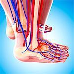 Human leg cardiovascular system, computer artwork.